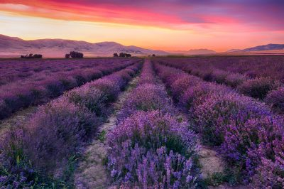 Lines of Lavender