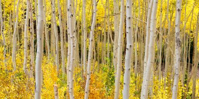 Endless Aspens